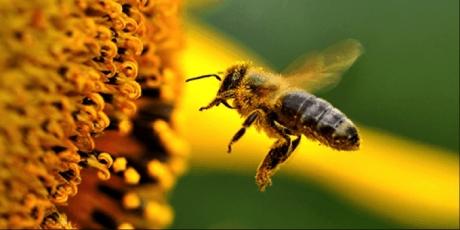 États-Unis: sauvons les abeilles