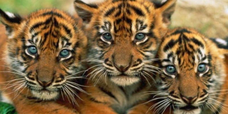 Ditch Coal -- Save the Last Tigers!